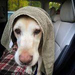 Buddy after a swim